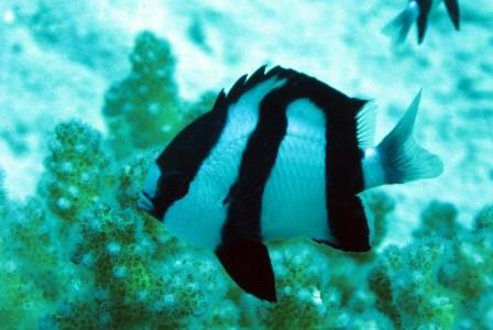 humbug damselfish do not make good saltwater starter fish
