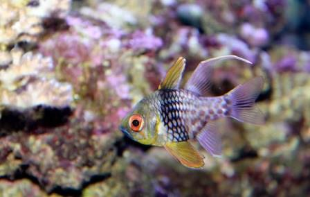 PJ cardinalfish one of five saltwater starter fish