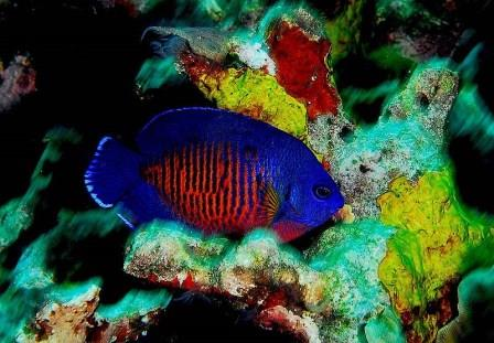 number two on the saltwater aquarium starter fish list is the coral beauty angelfish