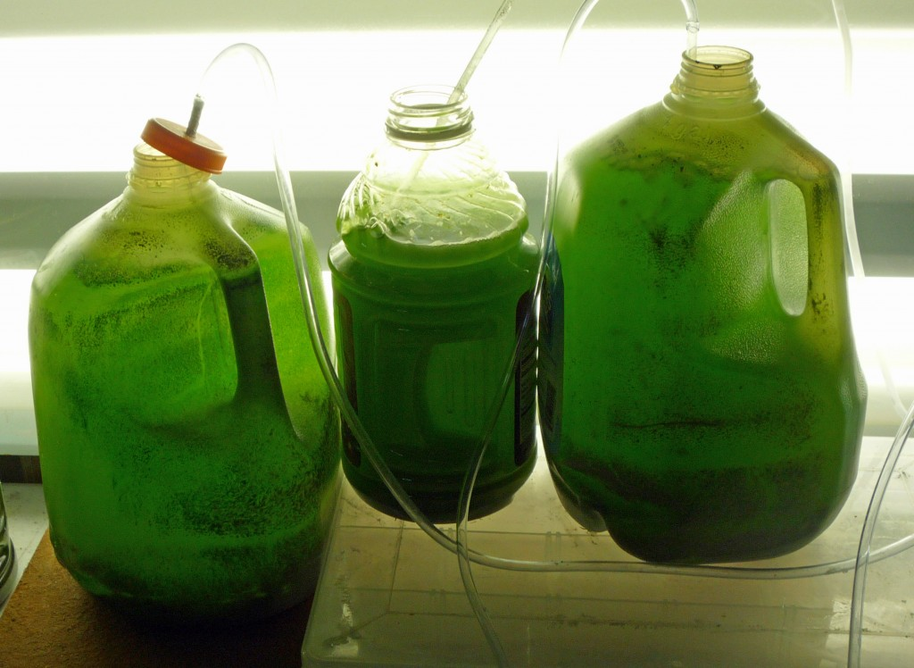 phytoplankton culture set up for growing phytoplankton at home