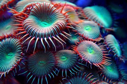 zoanthids image