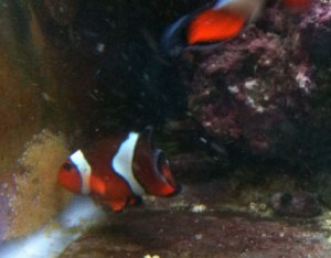 Clownfish eggs second days post spawn