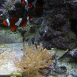 Clownfish and colt coral under reef lighting combination six