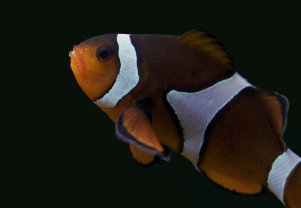 Amphiprion ocellaris clownfish breeding pattern