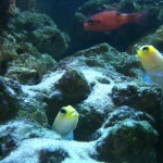 Pair of yellow headed jawfish