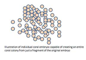 Coral embryos capable of reproducing by fragging