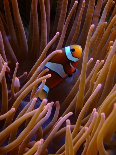 Clownfish make pop click and chirp sounds to establish dominance