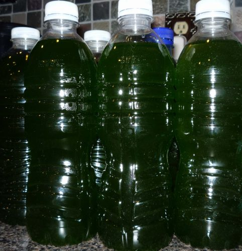 Bottles of phytoplankton for direct dosing