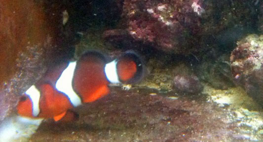 breeding saltwater clownfish eggs become silver