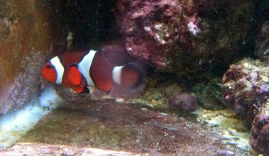 Clownfish eggs breeding journal
