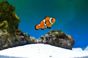 adding your first fish to a saltwater aquarium