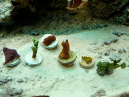 how to frag corals
