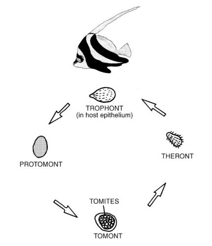 saltwater ich life cycle