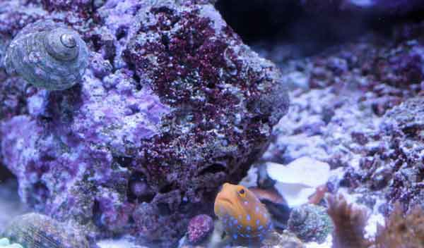 lonely jawfish