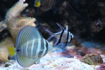 sail fin tang saltwater fish from New England Aquarium