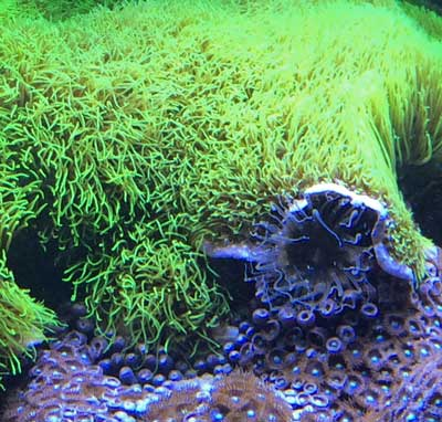 green star polyps growing