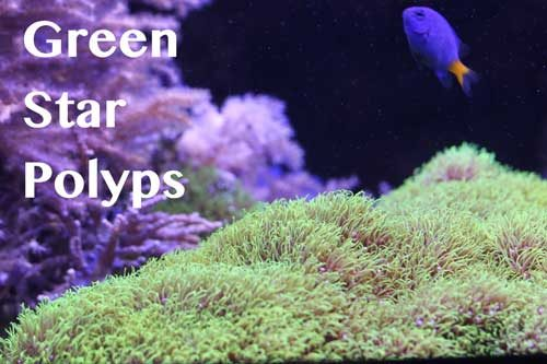 Green star polyps coral care guideGreen star Polyps  soft coral care guide for reef aquarium. Green Star Polyp Lighting Requirements. Home Design Ideas