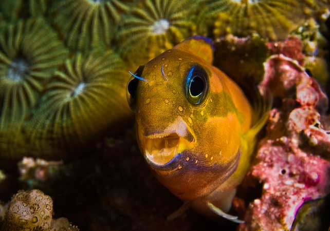 midas blenny by jason marks