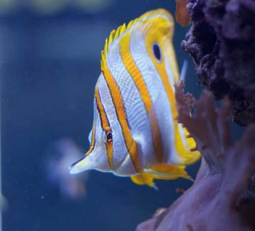 copperband butterfly fish from camden