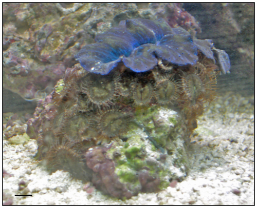 palytoxin containing palythoa zoanthids