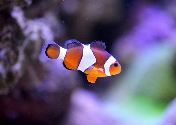 common clownfish most popular cool saltwater fish