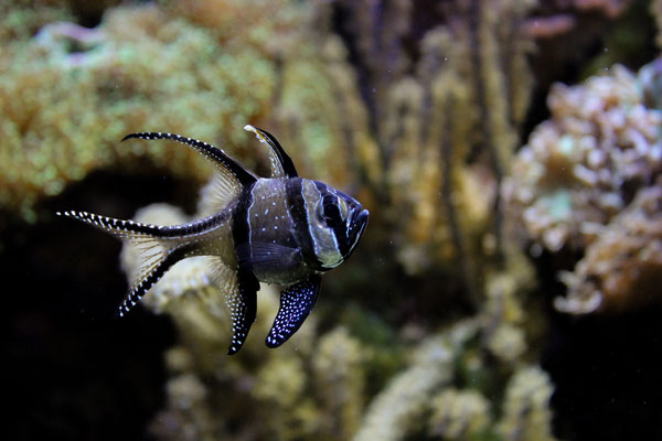 banggai cardinalfish, a cool saltwater fish
