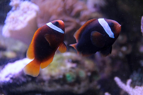 tomato clownfish cool saltwater fish