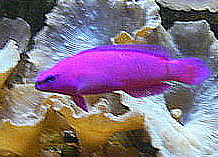 Orchid Dottyback in a saltwater aquarium