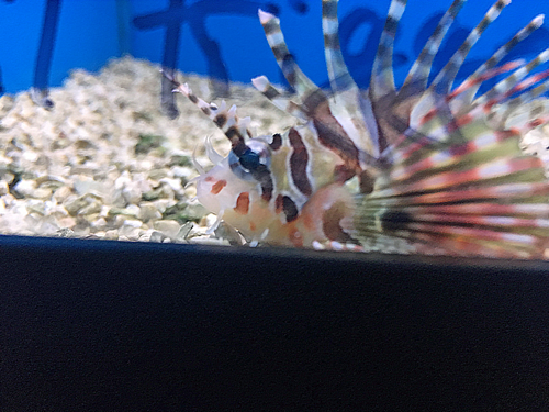 dwarf lionfish for sale